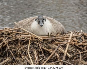 Mother goose (branta canadensis) on nest in sleet.