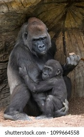 Mother Gorilla comforting her young Gorilla