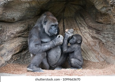 Mother Gorilla giving comfort to her youngster