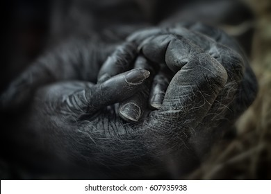 Mother Gorilla holding her baby's hand