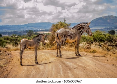 mother grevy's zebra with a young calf blocking dirt road