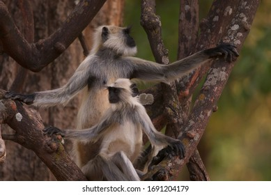 Mother Grey Langur and baby sitting in tree