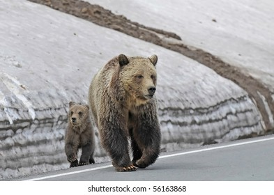 Mother Grizzly With Her Cub Crossing The Road