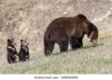 Mother Grizzly and her cubs