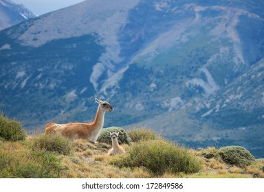 Mother guanaco with its baby. Torres del Paine national park, Patagonia, Chile