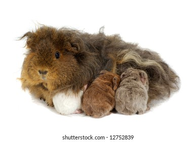 Mother guinea pig and three babies isolated on white