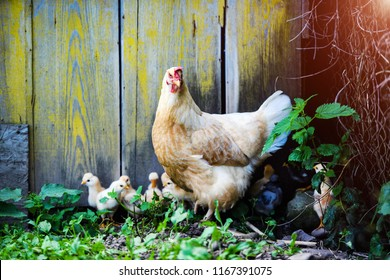 Mother Hen and Protecting Chicks