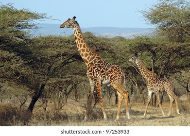 A mother and her baby giraffe standing amongst acacia trees