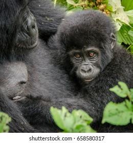 Mother and her baby gorilla, Nkuringo group, Bwindi Impenetrable National Park, Uganda