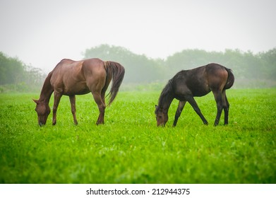 Mother horse and foal grazing in a meadow in the mist