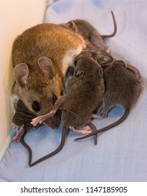 A mother house mouse, Mus musculus, nursing her six newborns in a kitchen drawer. She is getting a foot in the face from one baby, while you see only the gray furry tails of the other small rodents.