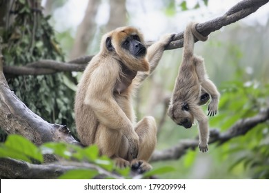 Mother Howler Monkey Sitting on a Tree Branch with Baby Monkey Hanging Upside Down