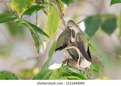 Mother Hummingbird feeds her chicks who are precariously perched on their nest