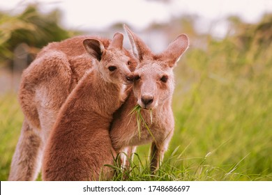 Mother and joey eastern grey kangaroo, mother eating grass and joey affectionately nudging her