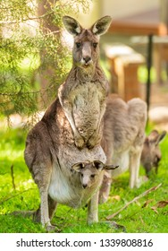 Mother kangaroo with baby joey in her pouch in the wild in The Grampians, Australia