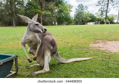 Mother Kangaroo carrying her joey in her pouch in Brisbane, Queensland, Australia