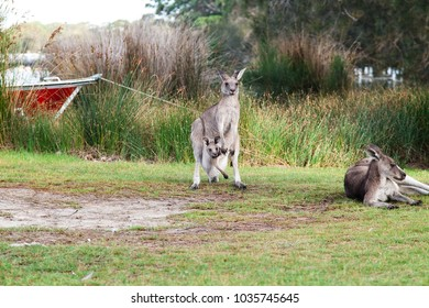 Mother Kangaroo with her baby Joey in her pouch and another Kangaroo laying near by, a red boat is tied in the grassy shore of a lake