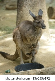 Mother Kangaroo and her Joey in her pocket