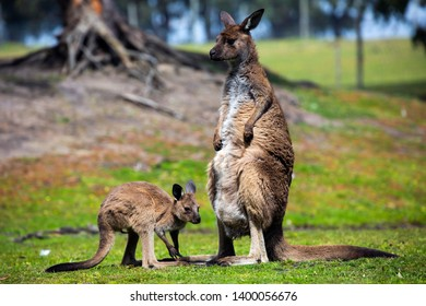 A mother kangaroo and her young joey enjoying some sunshine in a grassy field.