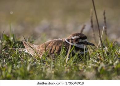 Mother Killdeer keeping her eggs warm on her nest