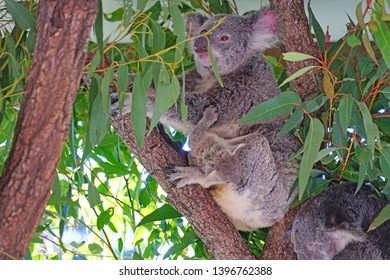 A mother koala with a baby joey in the pouch on a eucalyptus gum tree in Australia