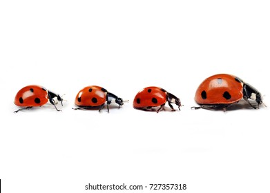 Mother ladybug with three little kids