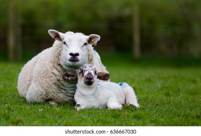 Mother and lamb.