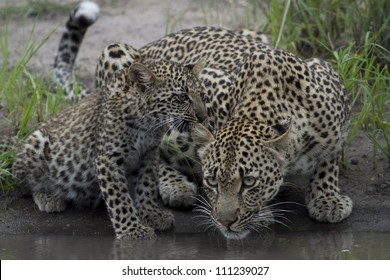 Mother Leopard and cub