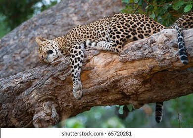 A mother leopard and her cub sleeping on the same branch in a tree.