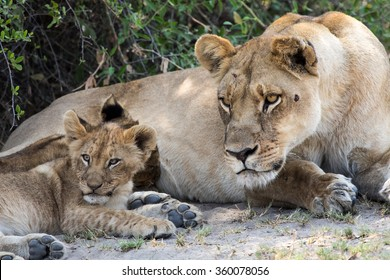 A mother lion and her cub on the alert.