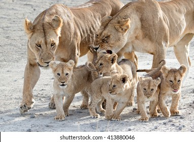 Mother lionesses herding cubs, Serengeti National Park, Tanzania