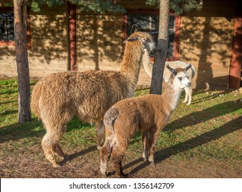 Mother llama - Alpaca with her baby