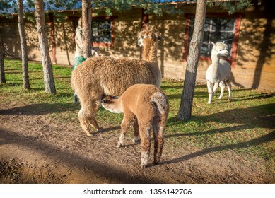 Mother llama - Alpaca  nurses her baby