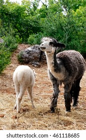 Mother Llama with her child
