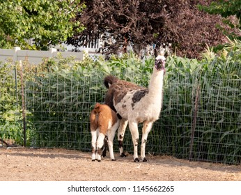 Mother llama nurses her baby in a paddock
