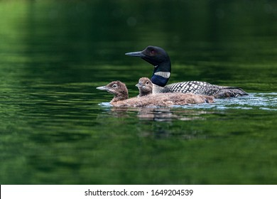 mother loon swimming with baby loons