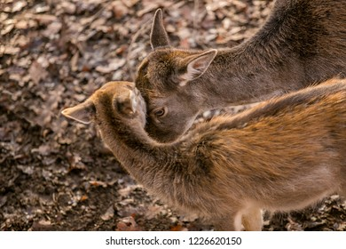 Mother love of brown reddish european fallow deer and her young offspring, blurry background with dry leaves on ground, sunny autumn day in a game park