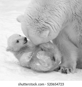Mother love of polar bear. Black and white image.