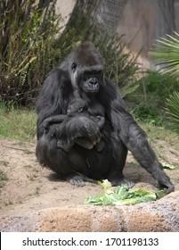 Mother Lowland Gorilla cradling her newborn baby in her arms