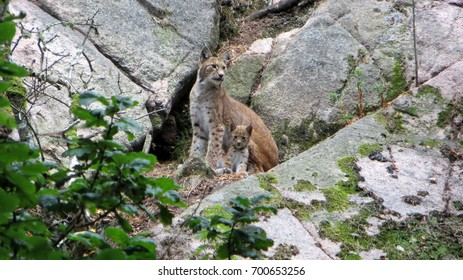 Mother lynx with a baby