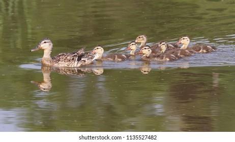 Mother mallard duck and ducklings.