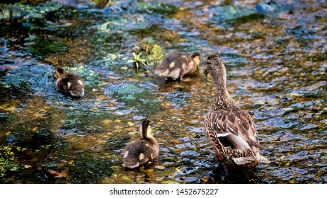 Mother mallard with her ducklings as they make their way upstream while foraging for food in a river