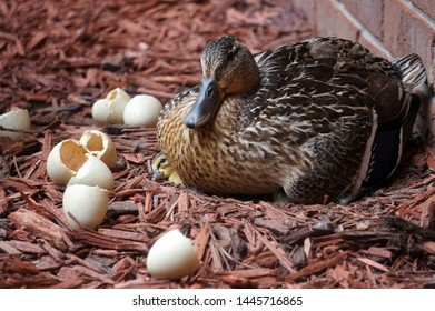 Mother Mallard with Peeping Duckling and Hatched Eggs