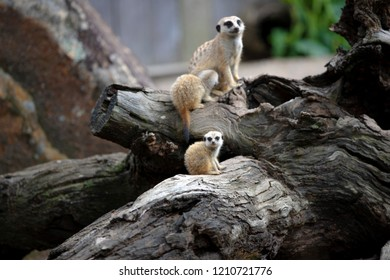 A mother meerkat is feeding a pup while another pup is sitting on a lower wood looking around curiously closeup