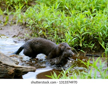 A mother Mink carries her baby to safety.