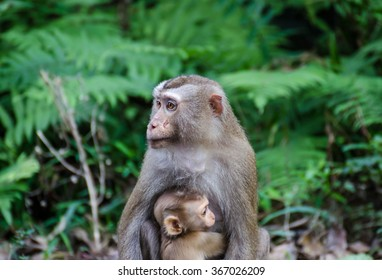 Mother monkey with baby monkey with green background.