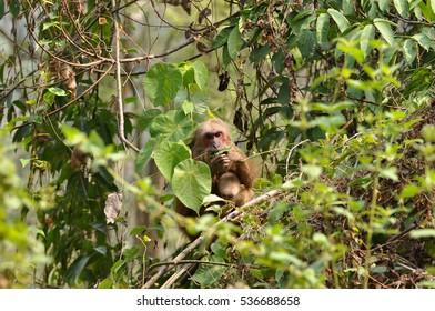 Mother monkey feeding on leaf and holding baby