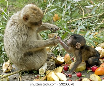 A mother monkey giving food to baby