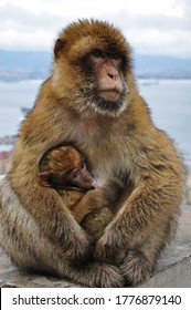 Mother monkey holding cute ape baby with brown fluffy fur. Macaque family in wild nature. Two primate animals mum and baby