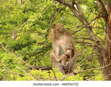 mother monkey sit on the tree and hug her baby monkey wile sucking her milk